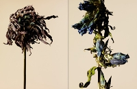 driedflowers001