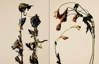 driedflowers005