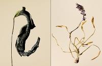 driedflowers006