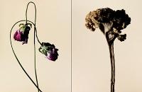 driedflowers009