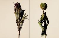 driedflowers012