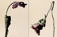driedflowers015