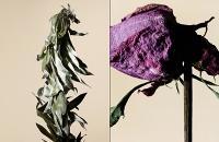 driedflowers016