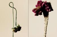 driedflowers017