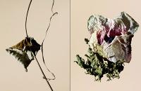driedflowers019